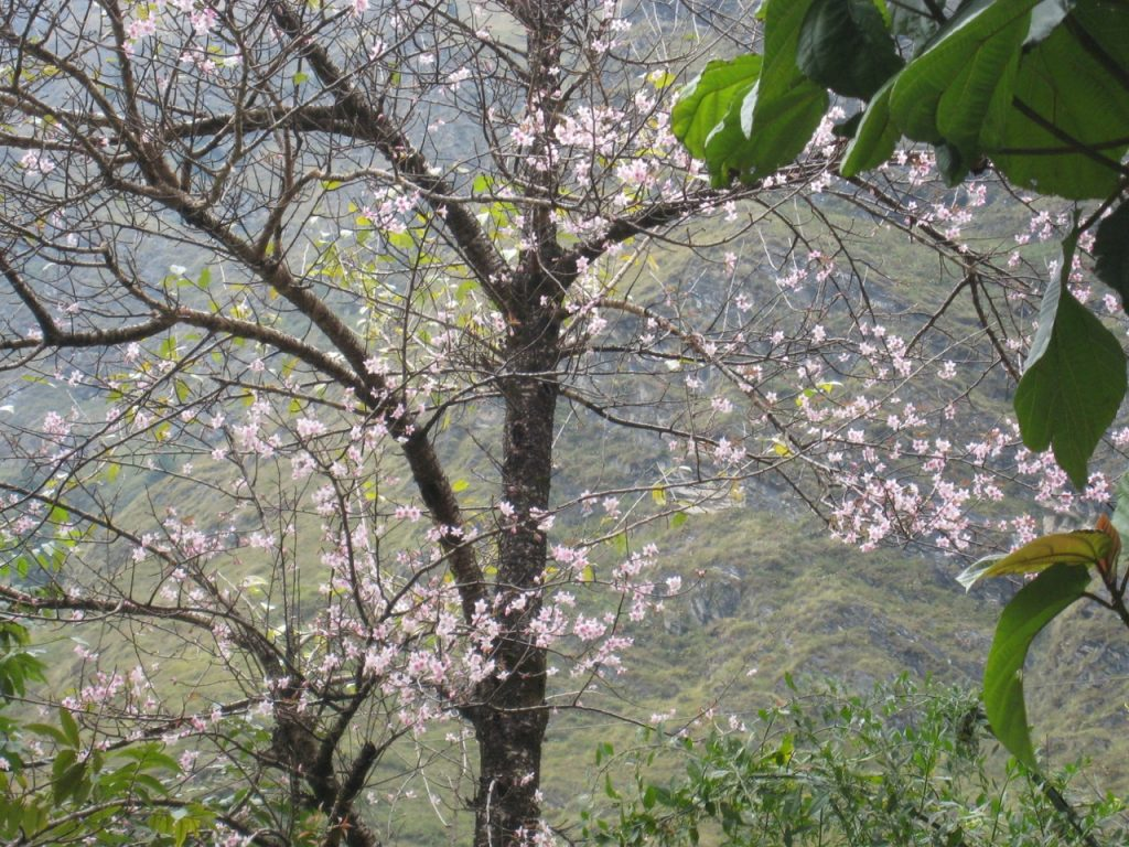 桜が咲いていた 2007 ジョムソン・トレッキング