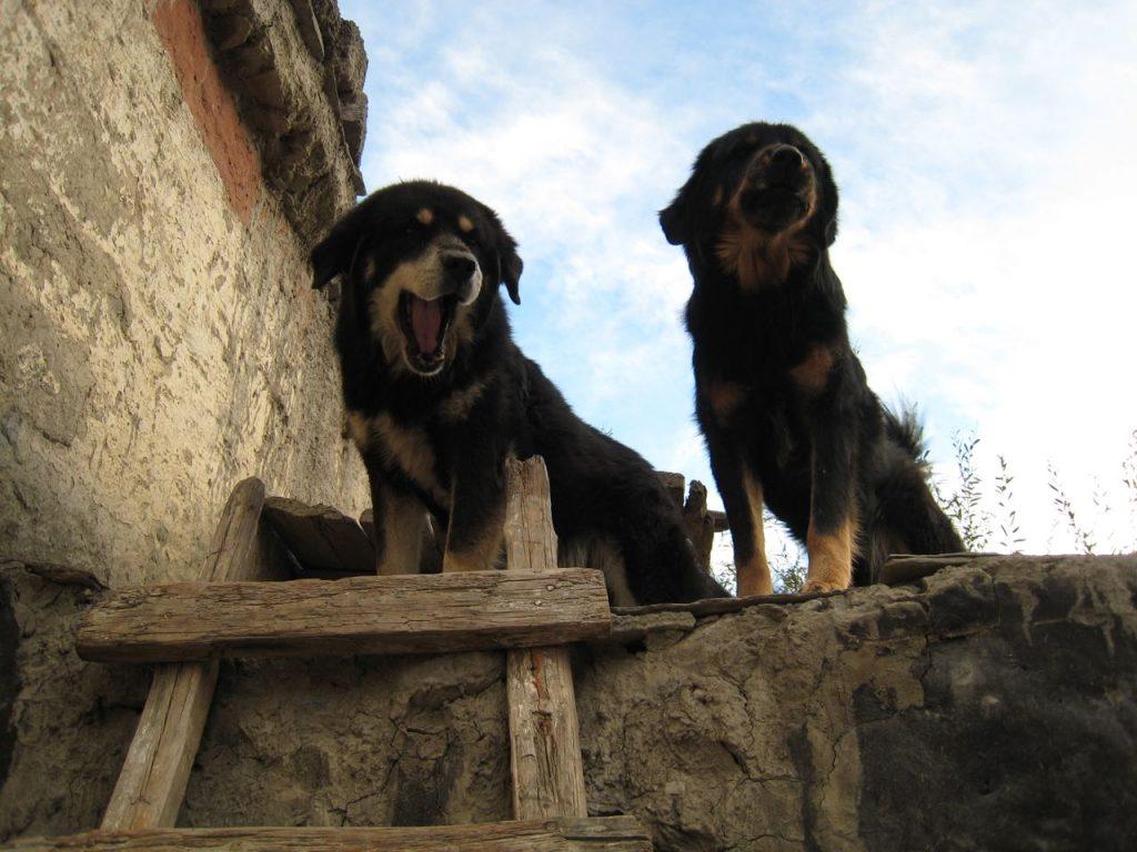 寺院で飼われている犬たち 2007 ジョムソン・トレッキング