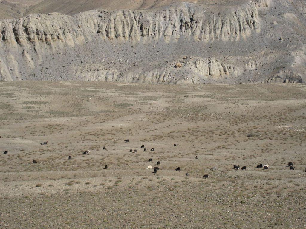 放牧されている 2007 ジョムソン・トレッキング