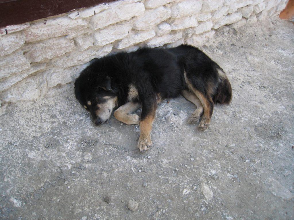 マルファの犬 2007 ジョムソン・トレッキング