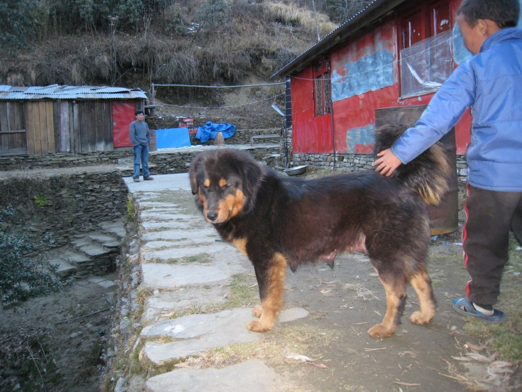 大きな母犬 2007/08 デウラリ・トレッキング