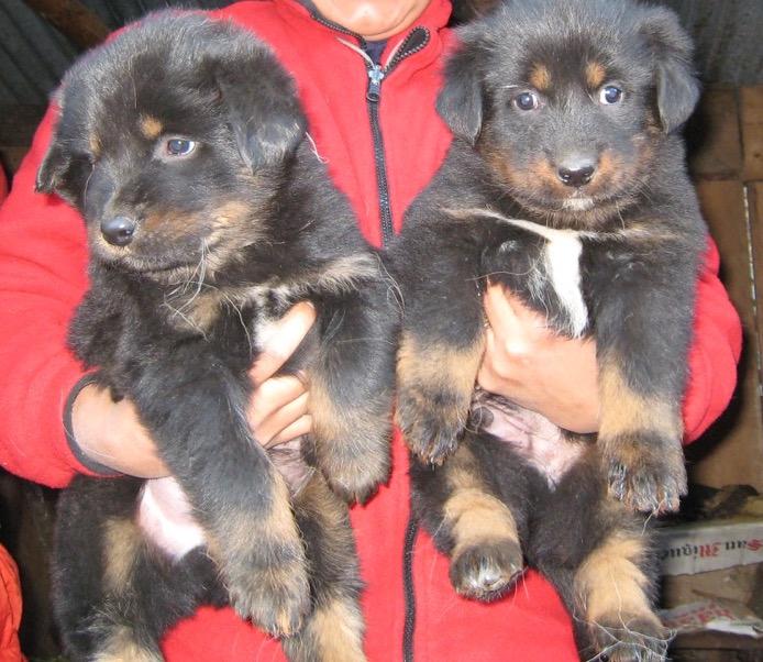 子犬を選ぶ 2007/08 デウラリ・トレッキング
