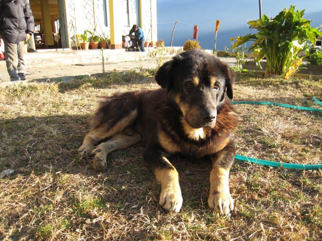 ガンダルクのホテルの犬 2007/08 デウラリ・トレッキング
