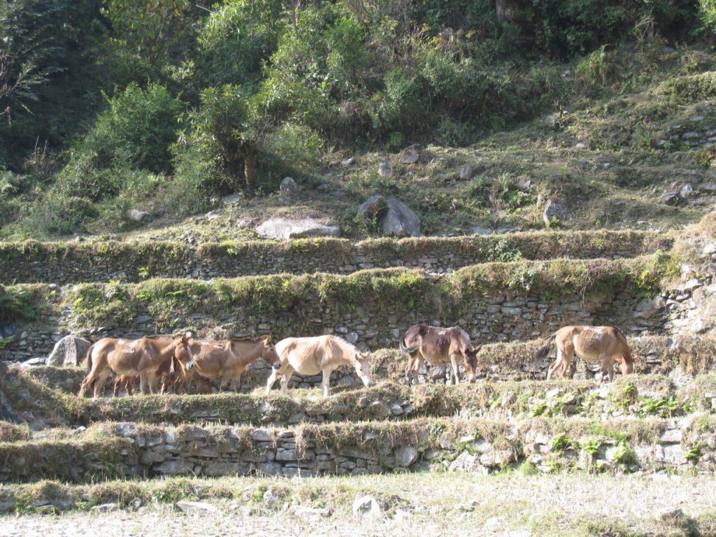馬の放牧 2007/08 デウラリ・トレッキング