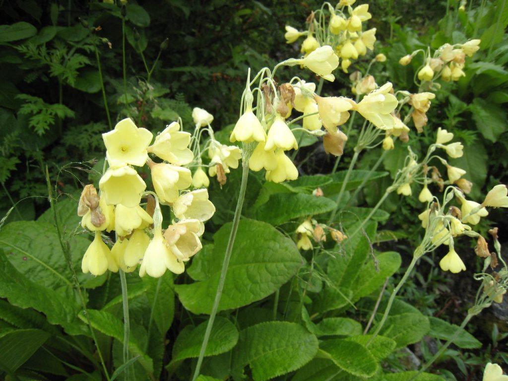 高山植物たち 2008 ランタン・トレッキング