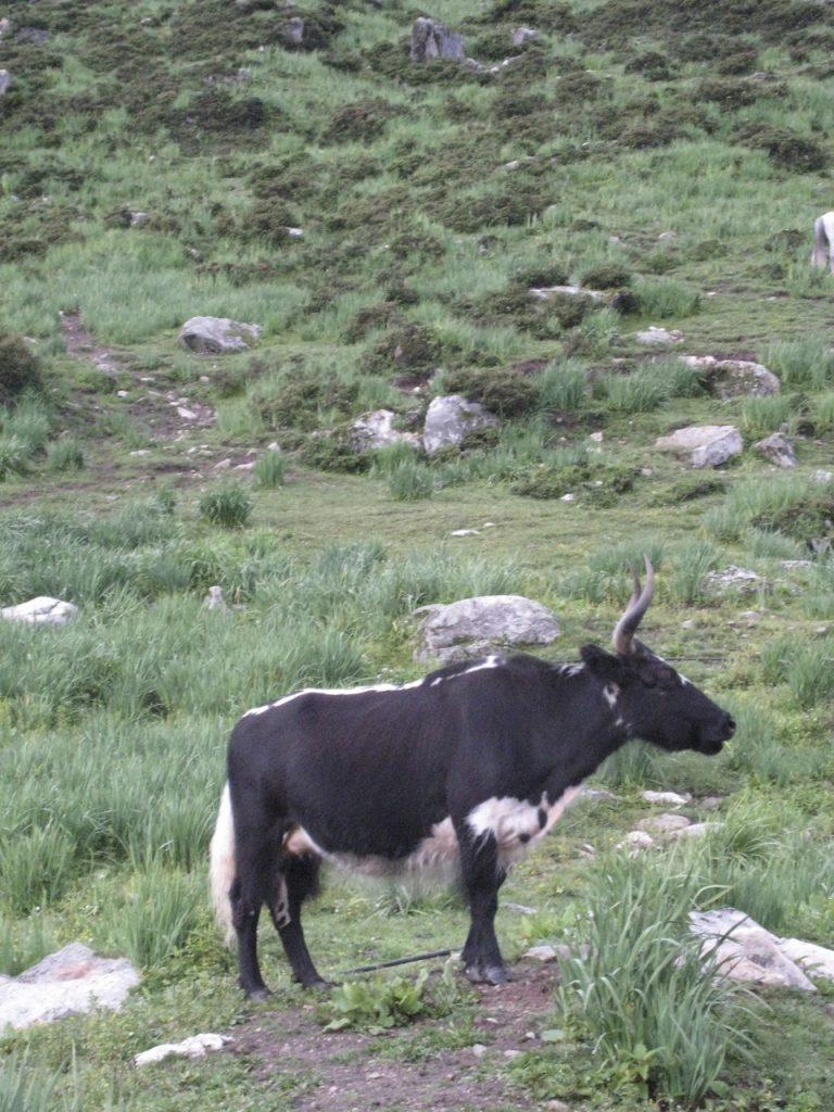 放牧されている家畜 2008 ランタン・トレッキング