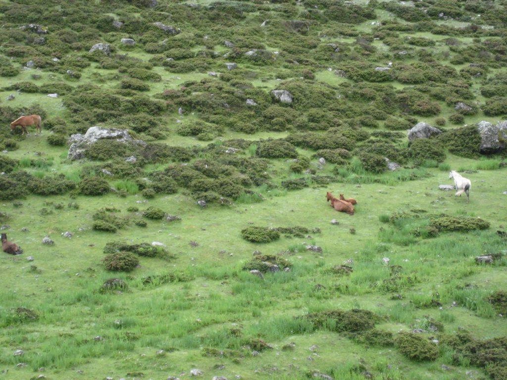 草を食む馬たち 2008 ランタン・トレッキング