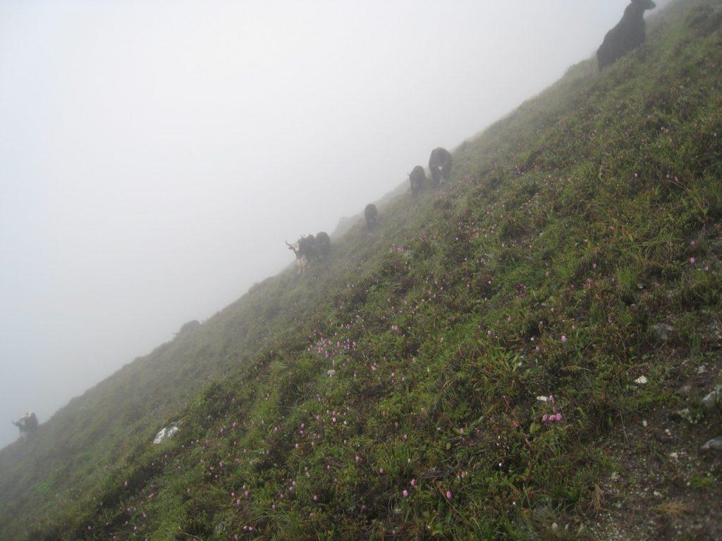 放牧されているヤク、標高4000m位 2008 ランタン・トレッキング