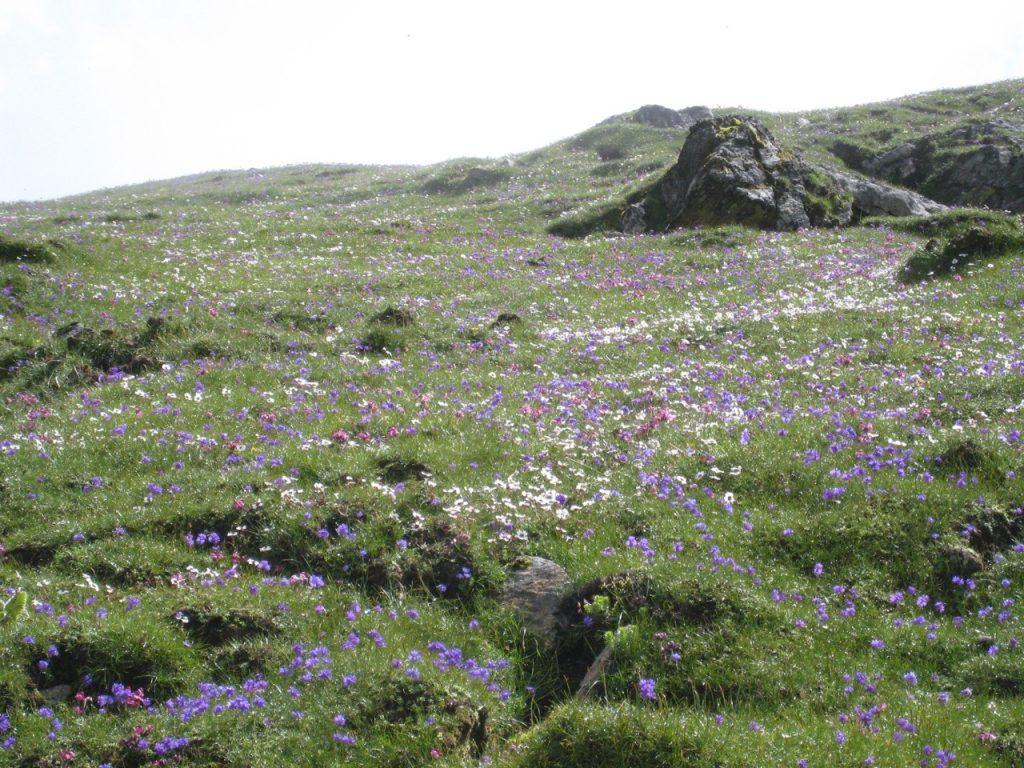 高山植物 2008 ランタン・トレッキング
