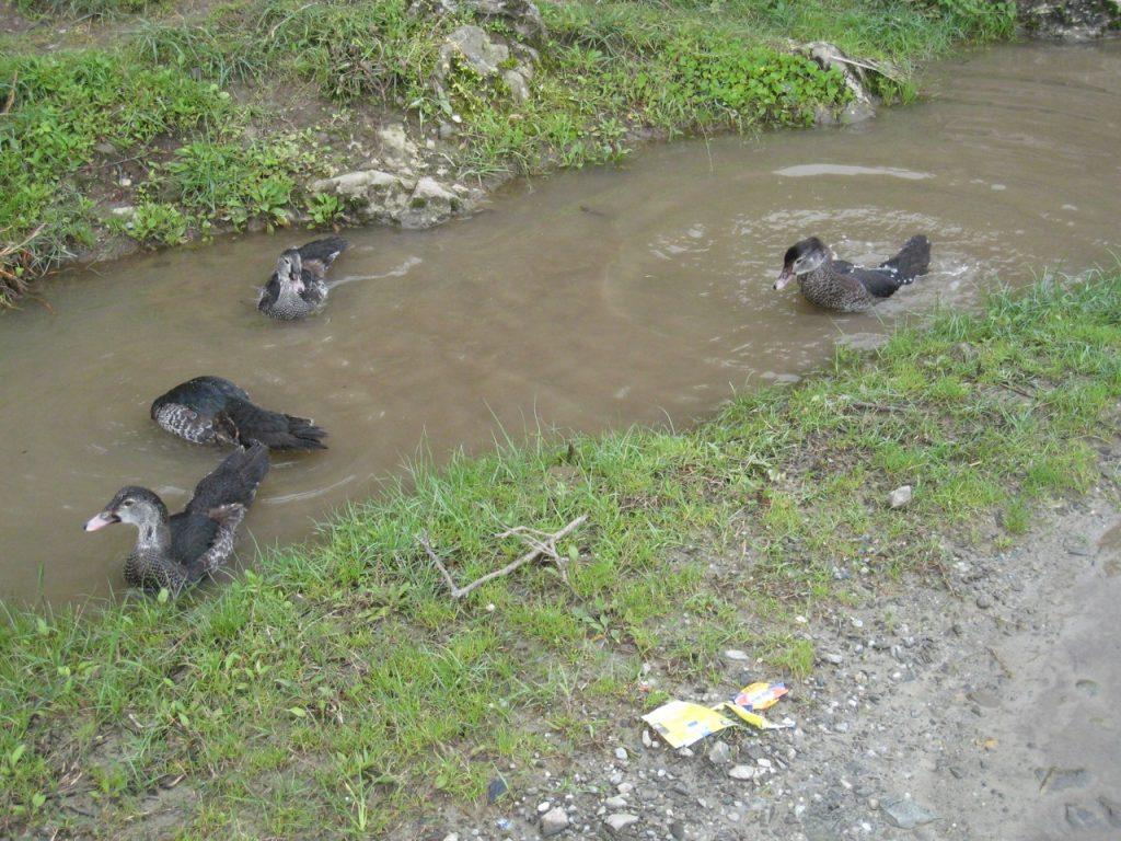 鴨たち 2008 ランタン・トレッキング