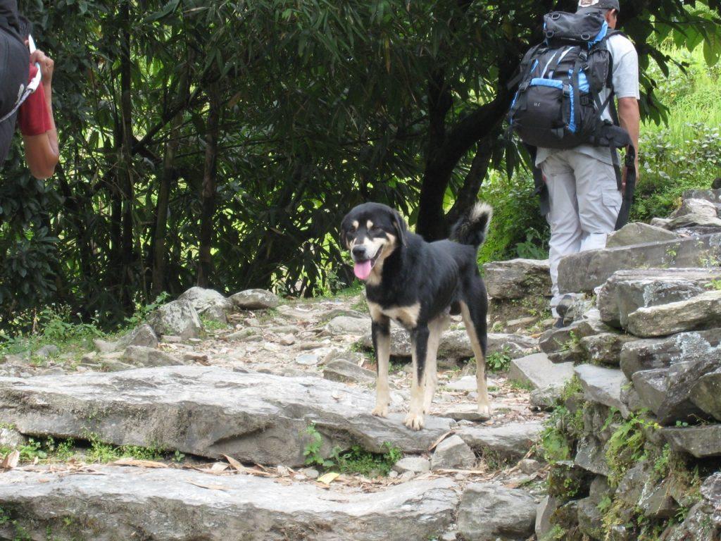 キムチェの手前で会った犬 2008 アンナプルナ・ベースキャンプ・トレッキング