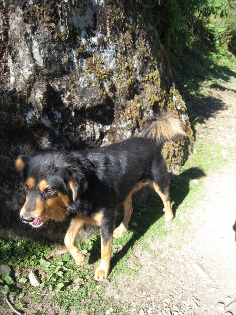 ゴレパニ近くの犬 2008 アンナプルナ・ベースキャンプ・トレッキング