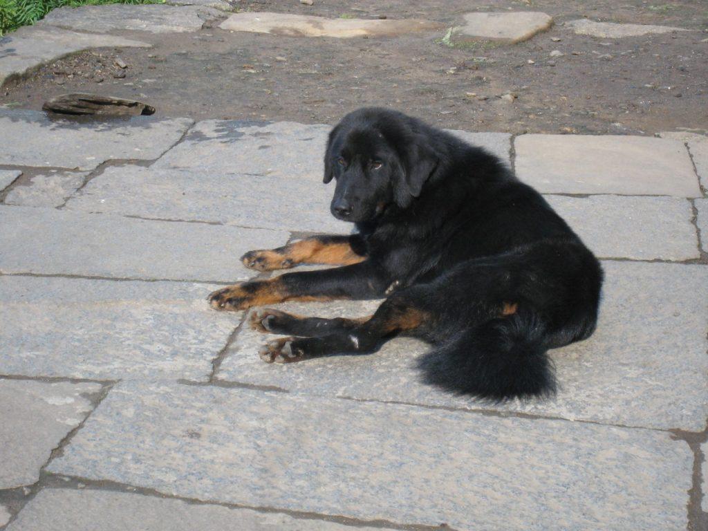 シヌワへの途中で会った犬 2008 アンナプルナ・ベースキャンプ・トレッキング
