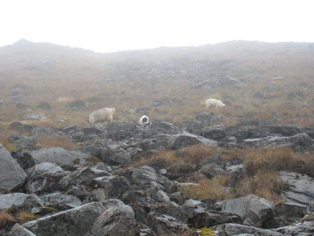 ABC付近の羊の放牧 2008 アンナプルナ・ベースキャンプ・トレッキング
