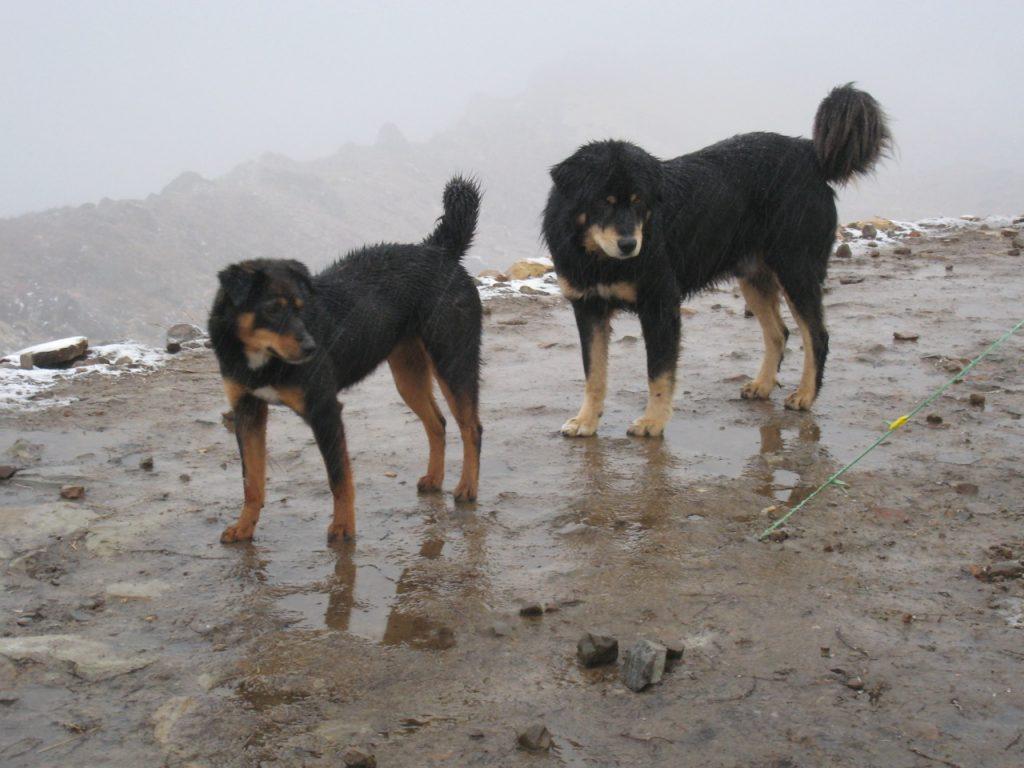 犬たち 2008 アンナプルナ・ベースキャンプ・トレッキング