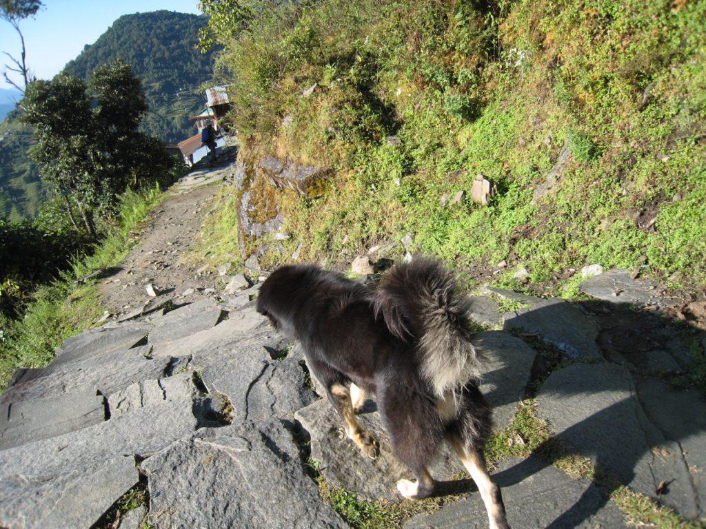 途中まで一緒だった犬 2008 アンナプルナ・ベースキャンプ・トレッキング