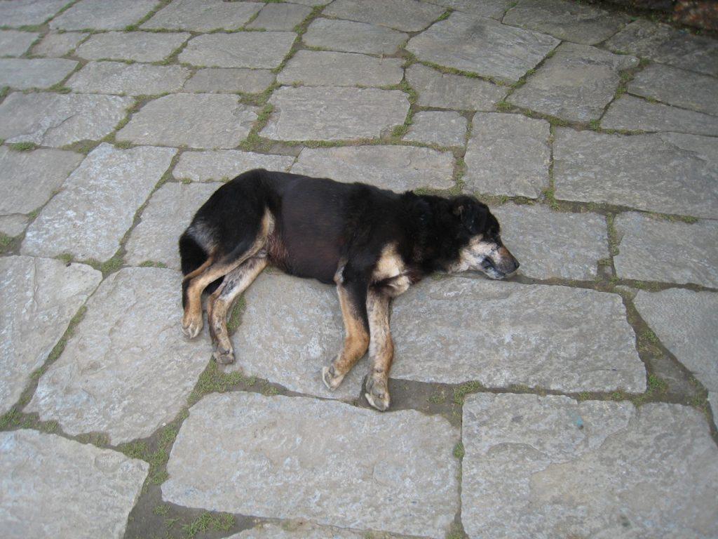 タダパニの犬 2008 アンナプルナ・ベースキャンプ・トレッキング