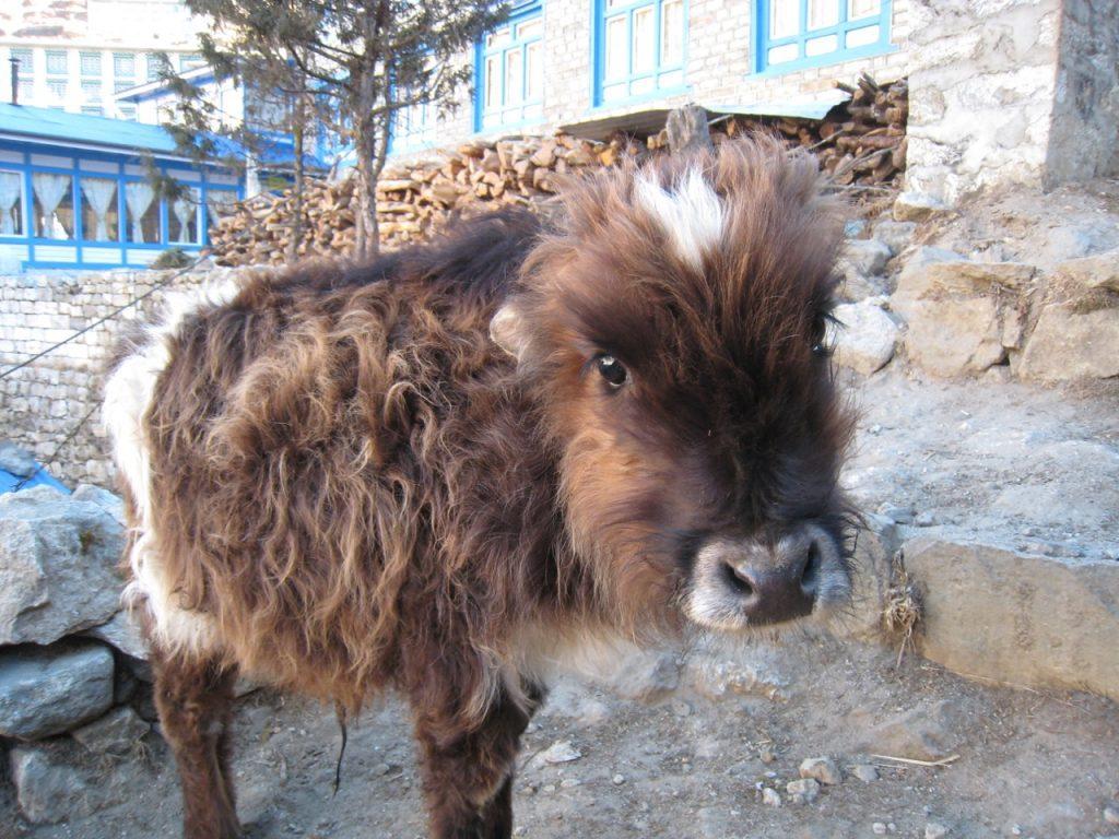 バザールの子牛2009 ナムチェ・バザール・トレッキング