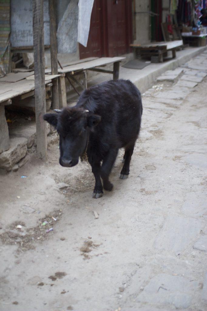 ナムチェ・バザールの牛 2010/11 ナムチェ・バザール・トレッキング