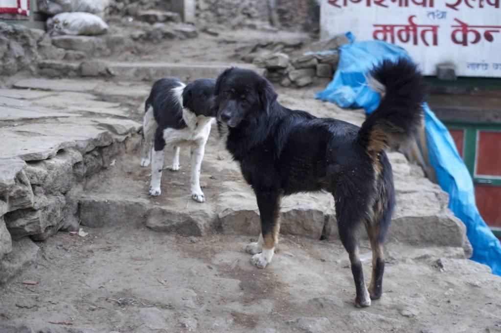 ナムチェ・バザールの犬 2010/11 ナムチェ・バザール・トレッキング