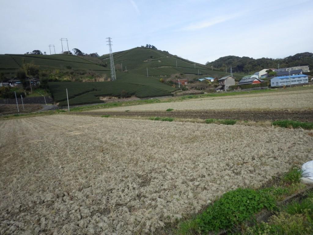 牧之原台地に近づき茶畑が現れる (2015BRM328井川300km)