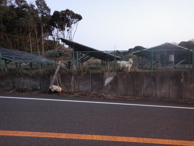 太陽光発電の敷地にヤギが放し飼いにされていた BRM104静岡200km (2015年1月4日)