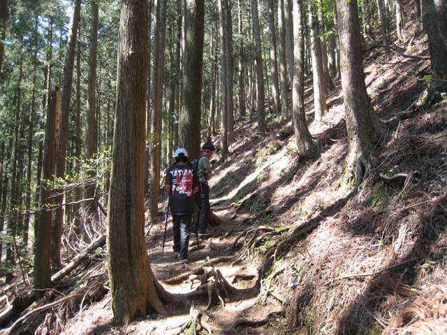 杉林の中を登る 藤原岳 -2013年4月28日