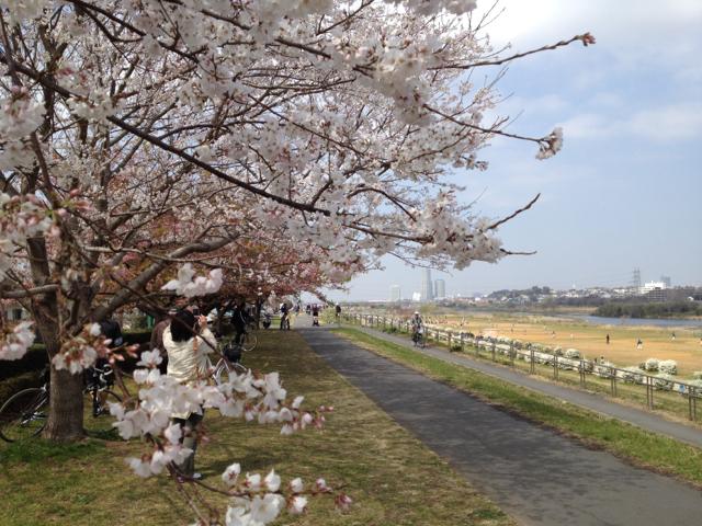 桜が咲き始めていた 多摩川CR川崎市側 2013/3/17