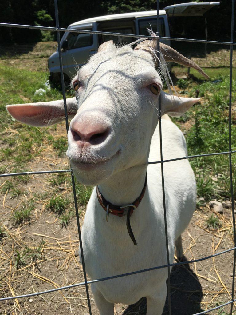坂内のヤギ のお父さんは今日も人懐こい
