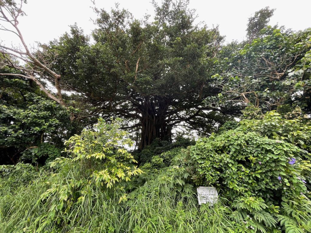喜界島の天然記念物のガジュマル群